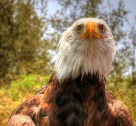 eagle_thumb.jpg
