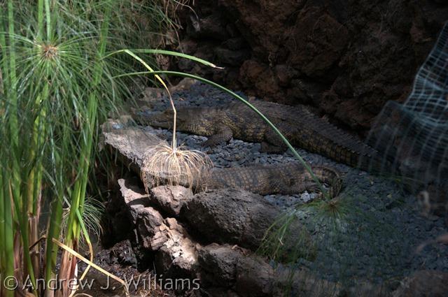croc - original