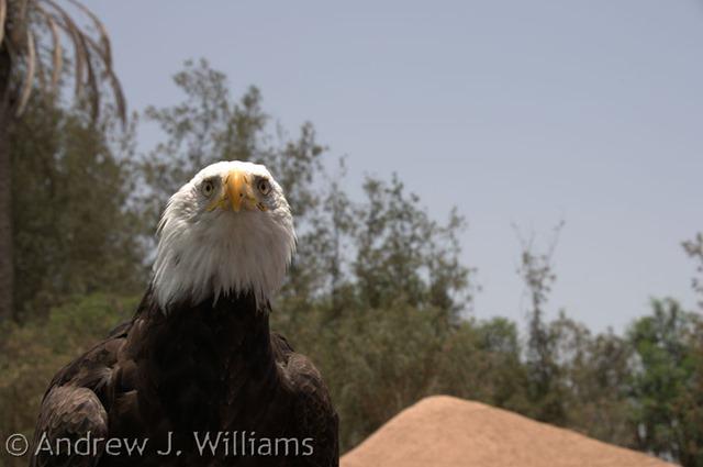 eagle - original