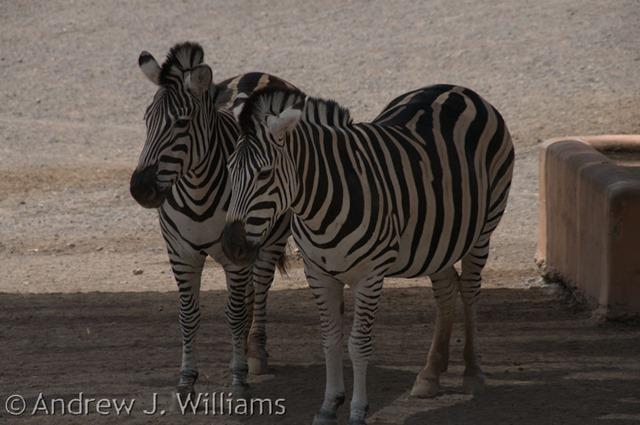 zebras-original