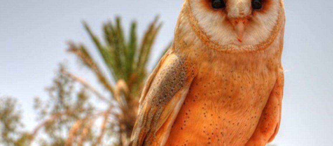 barn-owl_thumb.jpg