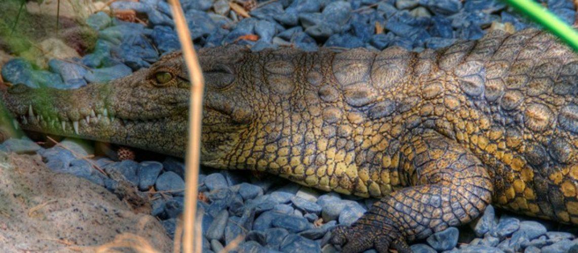 croc_thumb.jpg