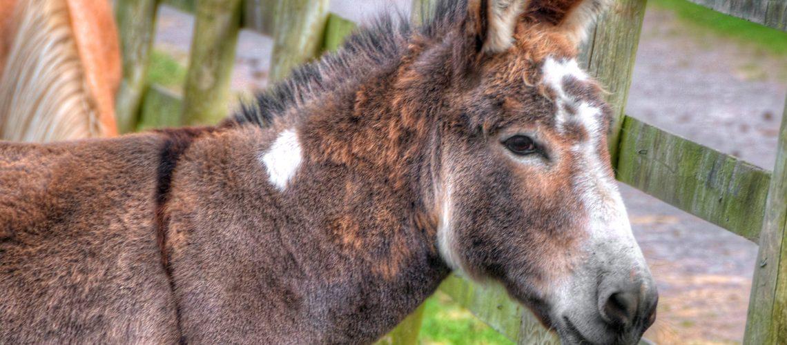 donkey 1 1500