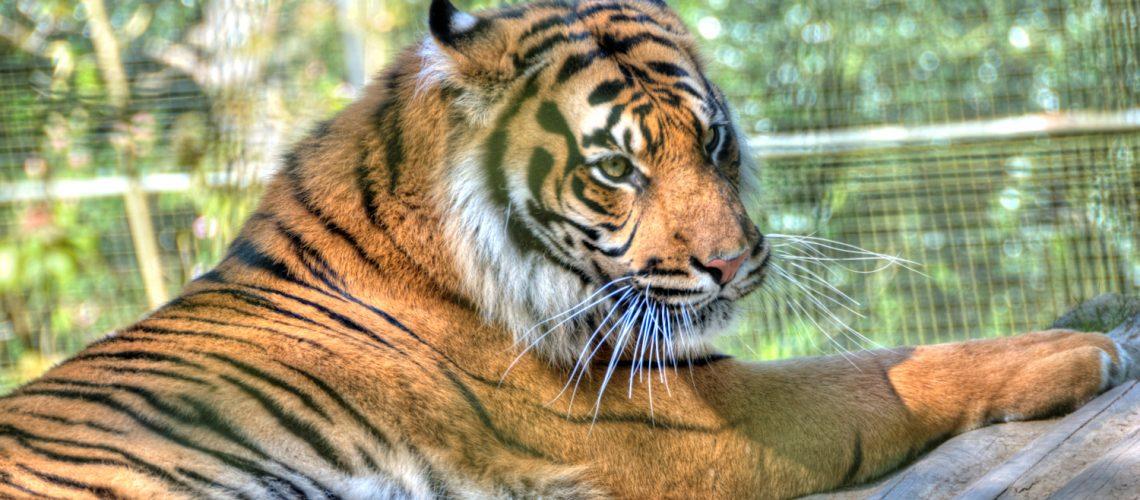 tiger 2 1500